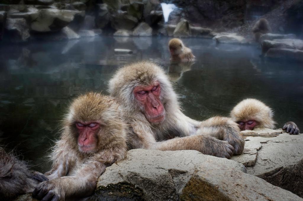 Des macaques japonais dans le Parc aux singes de Jigokudani, au Japon. (photo flickr/Trey Ratcliff)