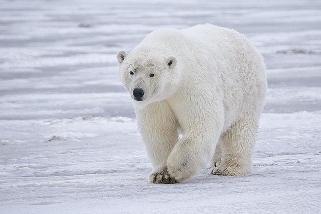 Le refuge faunique national Arctic est l'habitat de l'ours polaire, du loup gris et du caribou. (photo flickr/usfws_alaska)