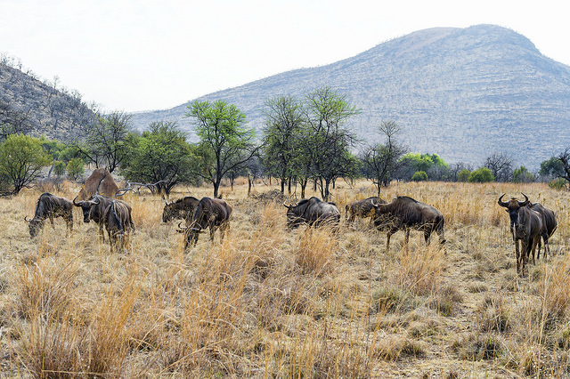 Un troupeau de gnous dans la région du Gauteng, en Afrique du Sud. (Photo Flickr/Tambako The Jaguar)