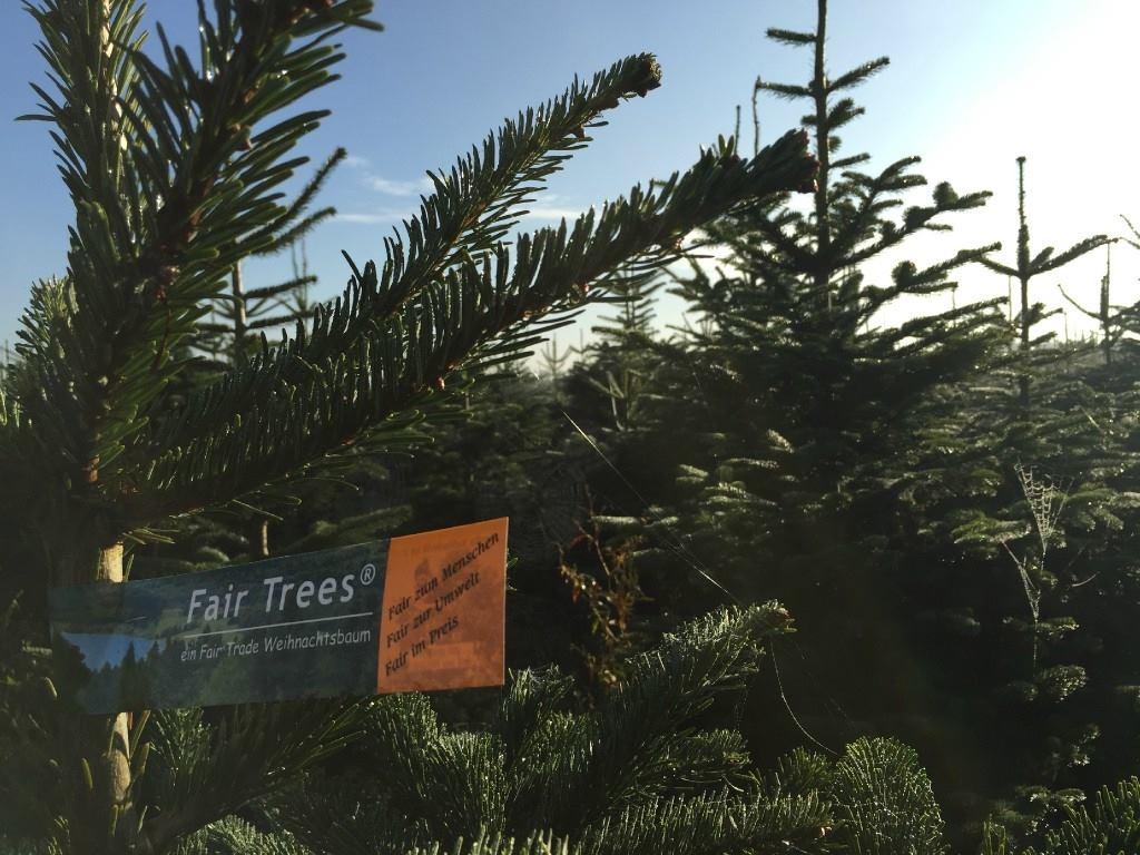 De jeunes pousses se développent sur un sapin de Noël remis en terre.(Photo Happy Tree)