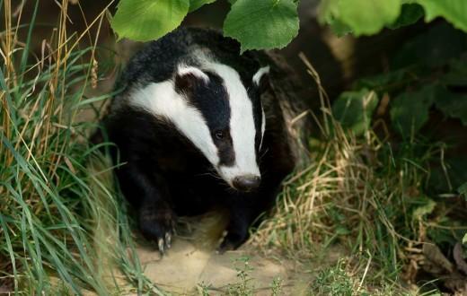 La campagne d'abattage avait déchiré le Royaume-Uni en deux camps l'année dernière. (photo Flickr/Peter G Trimming)