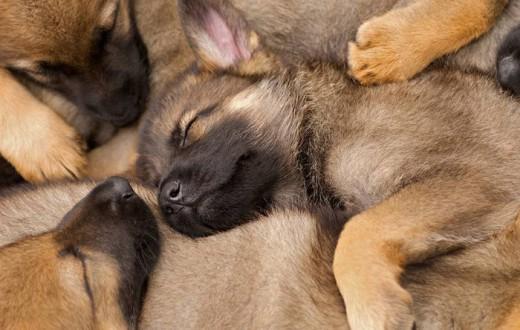 West Midlands Police new litter of German Sheperd puppies