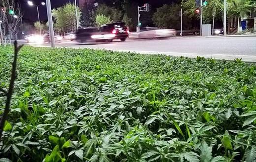 Les jonquilles et autres primevères ont laissé place à des centaines de plants de cannabis dans la ville d'Astana, au Kazakhstan. (photo CEN)