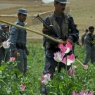L'Afghanistan est responsable de 85% de la production mondiale de pavot. (Photo Flickr / ResoluteSupportMedia)
