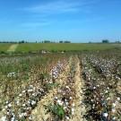 En Ouzbékistan, la récolte du coton commence généralement en septembre et moblise des millions de travailleurs, souvent forcés. (Photo Wikimedia Commons)