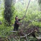 Un jeune garçon récolte des fruits de palmier à huile, utilisés pour la fabrication de l'huile de palme, au Honduras. (Photo Flickr/ICIJ Online)