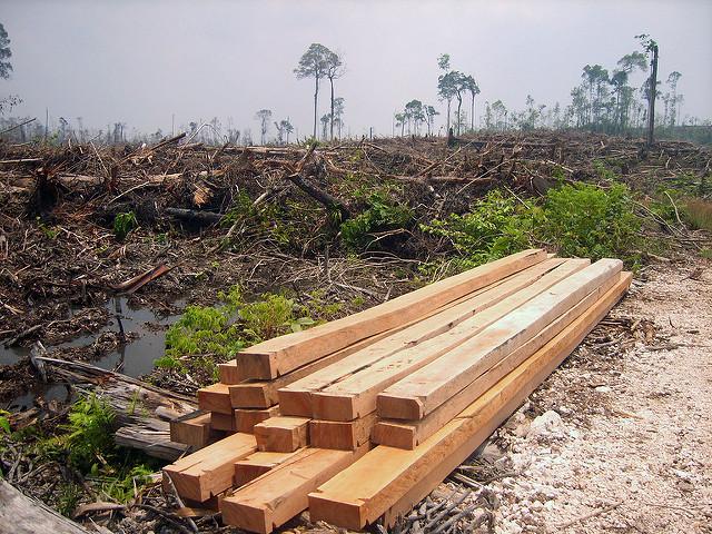 La disparition d'un grand nombre d'espèces végétales serait directement imputable à notre production irraisonnée d'huile de palme, comme ici en Indonésie. (Photo Flickr/Rainforest Action Network)