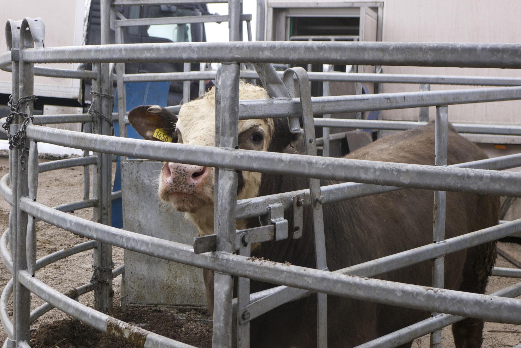 """Aux côté de leur éleveur, les bêtes sont apaisées. Elles n'attendent que quelques minutes avant d'entrer dans le compartiment arrière du camion, où elles sont étourdies. Emily est satisfaite: """"quand les vaches sont transportées à l'abattoir, elles arrivent trempées de sueur. Et ce stress augmente quand elles se retrouvent avec des centaines de vaches d'autres troupeaux qu'elles ne connaissent pas."""" (photo Charles Perragin & Margot Hemmerich/8e étage)"""