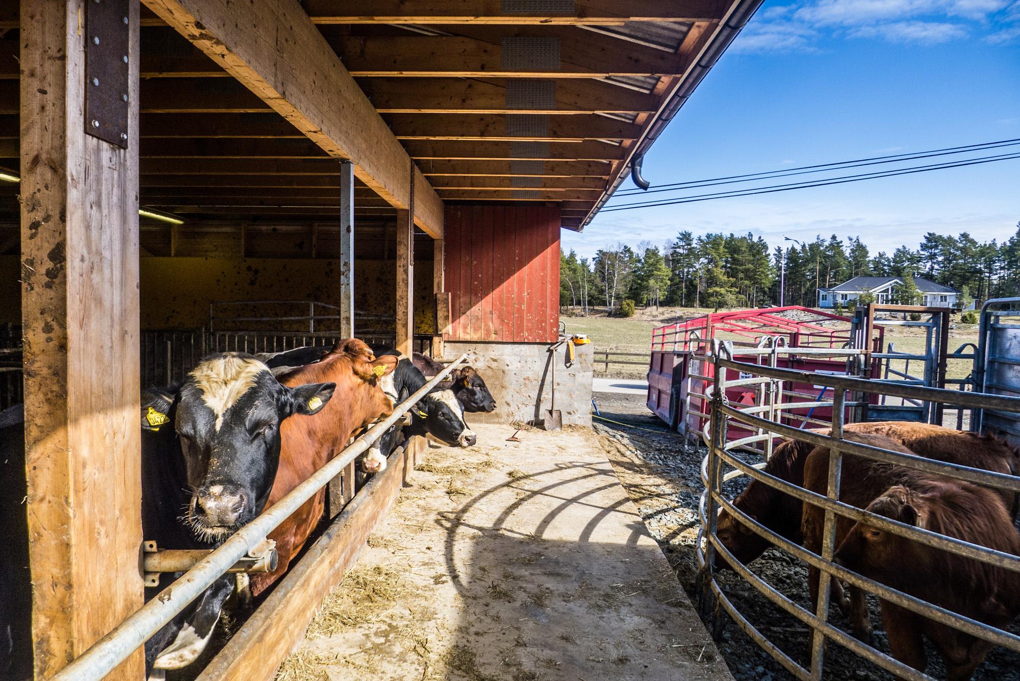 Les vaches dans les étables côtoient celles sur le point d'être abattues. Nous connaissons peu l'univers sensoriel de ces animaux. Mais pour Mona