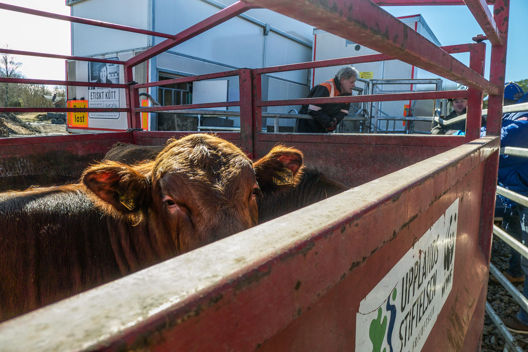 En une année, les employés abattent 5000 bêtes. Cela ne représente qu'1% des bovins tués en Suède. Mais le rythme est soutenu pour les employés qui doivent finir avant la nuit tombée. Soudain, à l'arrière du camion, un claquement inaugure un court silence, qui cède au bruit sourd d'un colosse qui s'effondre. (photo Charles Perragin & Margot Hemmerich/8e étage)