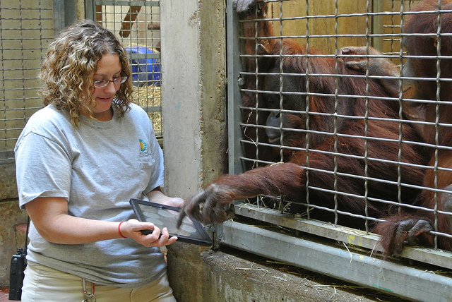 En 2012, le personnel du parc zoologique national de Washington faisait déjà découvrir les Ipads aux orangs-outans. (Photo Flickr/ Smithsonian's National Zoo)