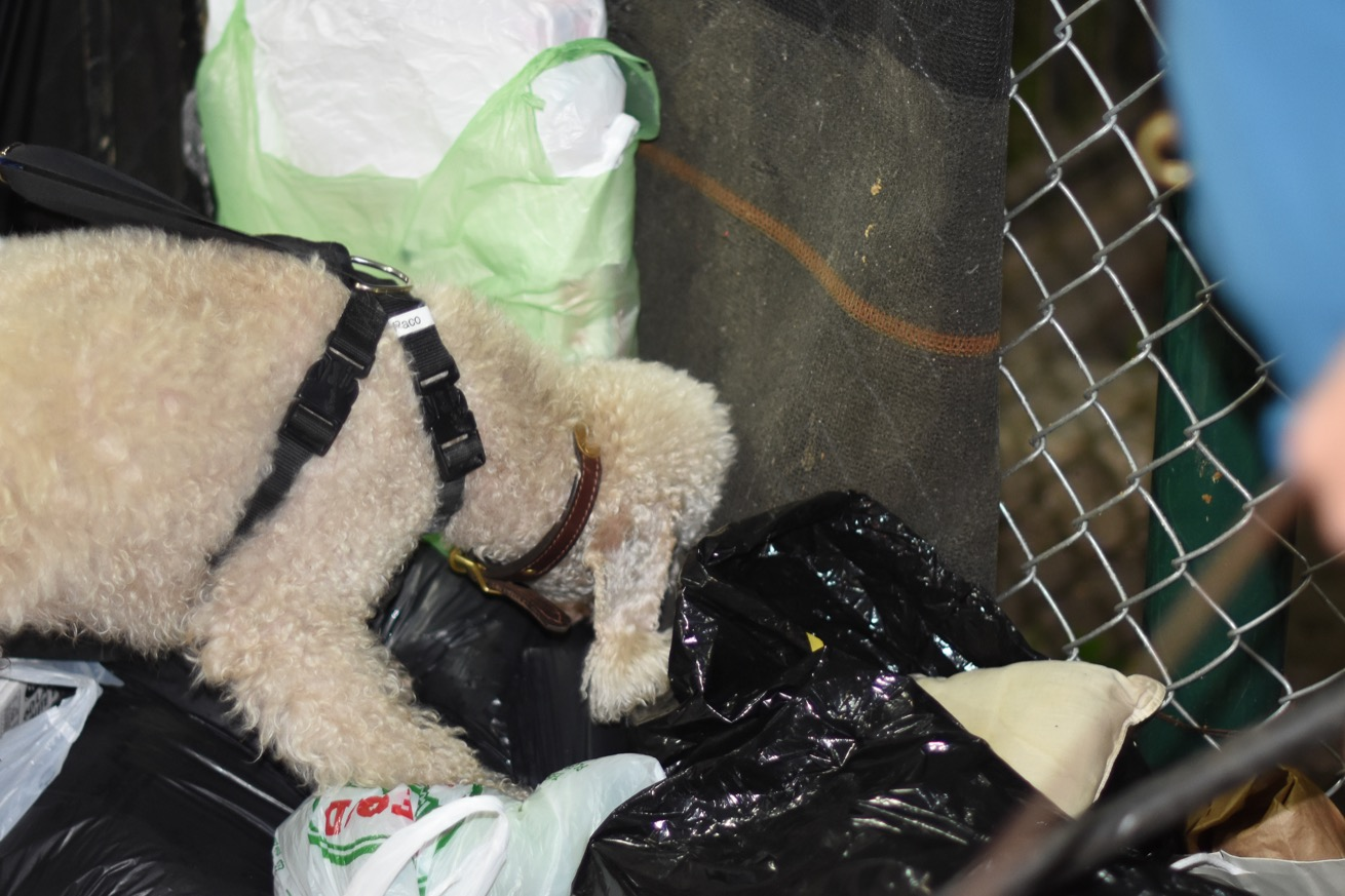 Marcus cherche à dénicher un rat dans les ordures. (photo Chloé Cohen/8e étage)
