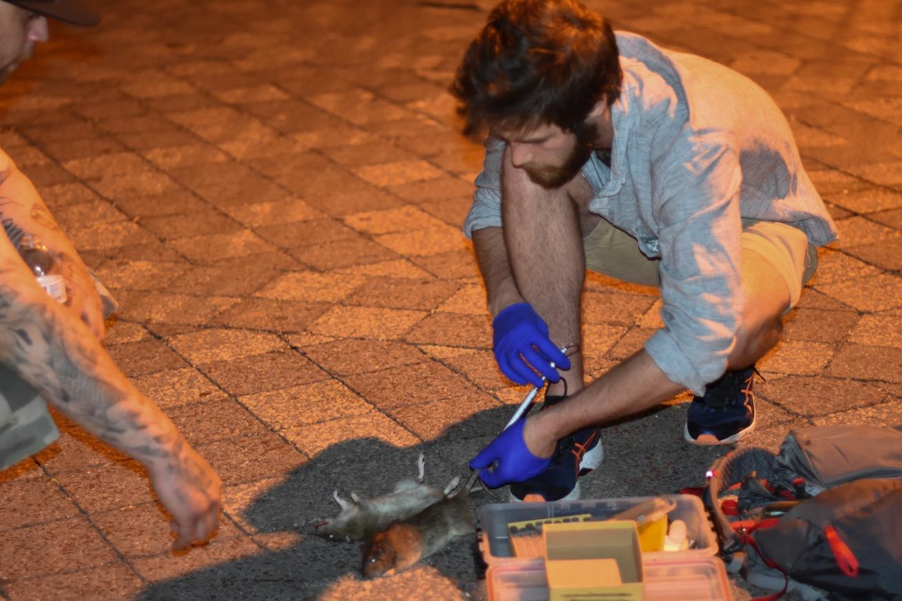 Matt Combs prélève de l'ADN sur les rats. (photo Chloé Cohen/8e étage)