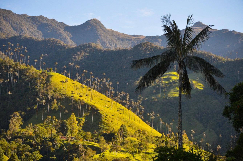 Les palmiers pouvant atteindre 60 mètres d'El Valle del Cocora sont des emblèmes de la Colombie. (photo Jérôme Le Boursicot/8e étage)