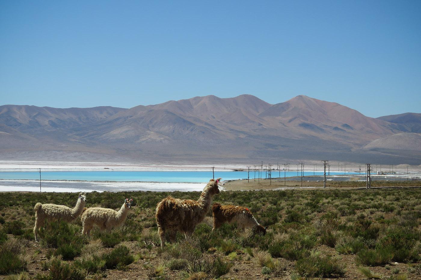 A quelques centaines de mètres de la mine de lithium Sales de Jujuy et du bourdonnement de ses machines, un troupeau de lamas paît, imperturbable. Dans le fond, la concession minière et ses immenses piscines (de 100 à 300 mètres de long) d'évaporation remplies de saumure. (photo Augustin Campos/8e étage)